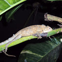Oriental garden lizard(Female with eggs)