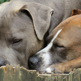 Buster & Cupcake by Shaggy Shack Pack - Uncategorized All Uncategorized ( chocolate pit, rescue, pit bull, blue pit, dog )