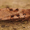 The spotted cutworm