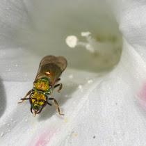 Bees of Ohio