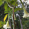 Trumpet flower/ angel trumpet flower