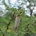 Bagworm Moth pupa