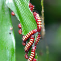 Atala Butterfly Larvae
