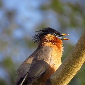 Call by Kishan Meena - Animals Birds ( bird, starling, nature, chandlai lake, wildlife, myna, brhaminy )