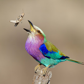 Lilac Breasted Roller by Chris Kotze - Animals Birds ( bird, lilac breasted roller, kruger park, chris kotze, colours )