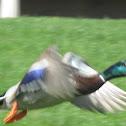 Mallard Duck [male]
