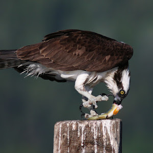 Osprey.2.jpg