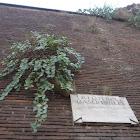 Caper bush. Alcaparro
