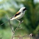 Long-tailed Shrike / Rufous-backed Shrike