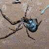 Spitting Spider?