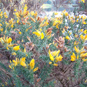 gorse, common gorse, furze or whin