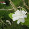 Foll (Arabian Jasmine)