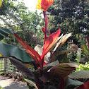 Tropicanna canna lily