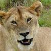 Maasai Lioness