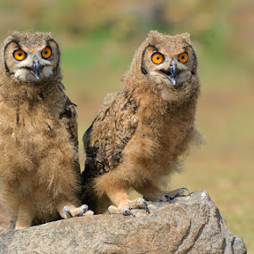 juv indian eagle owl by Raj Dhage - Animals Birds ( nikon d7100, nikon )