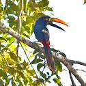 Fiery-billed Aracari,Toucan