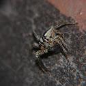 Araña saltadora