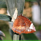 Common Palmfly butterfly