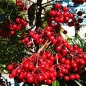 stella cherry