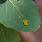 Leaf eating beetle eggs