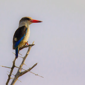The Lookout by Ailsa Burns - Animals Birds ( colour, bird, colourful, color, kingfisher, birds )