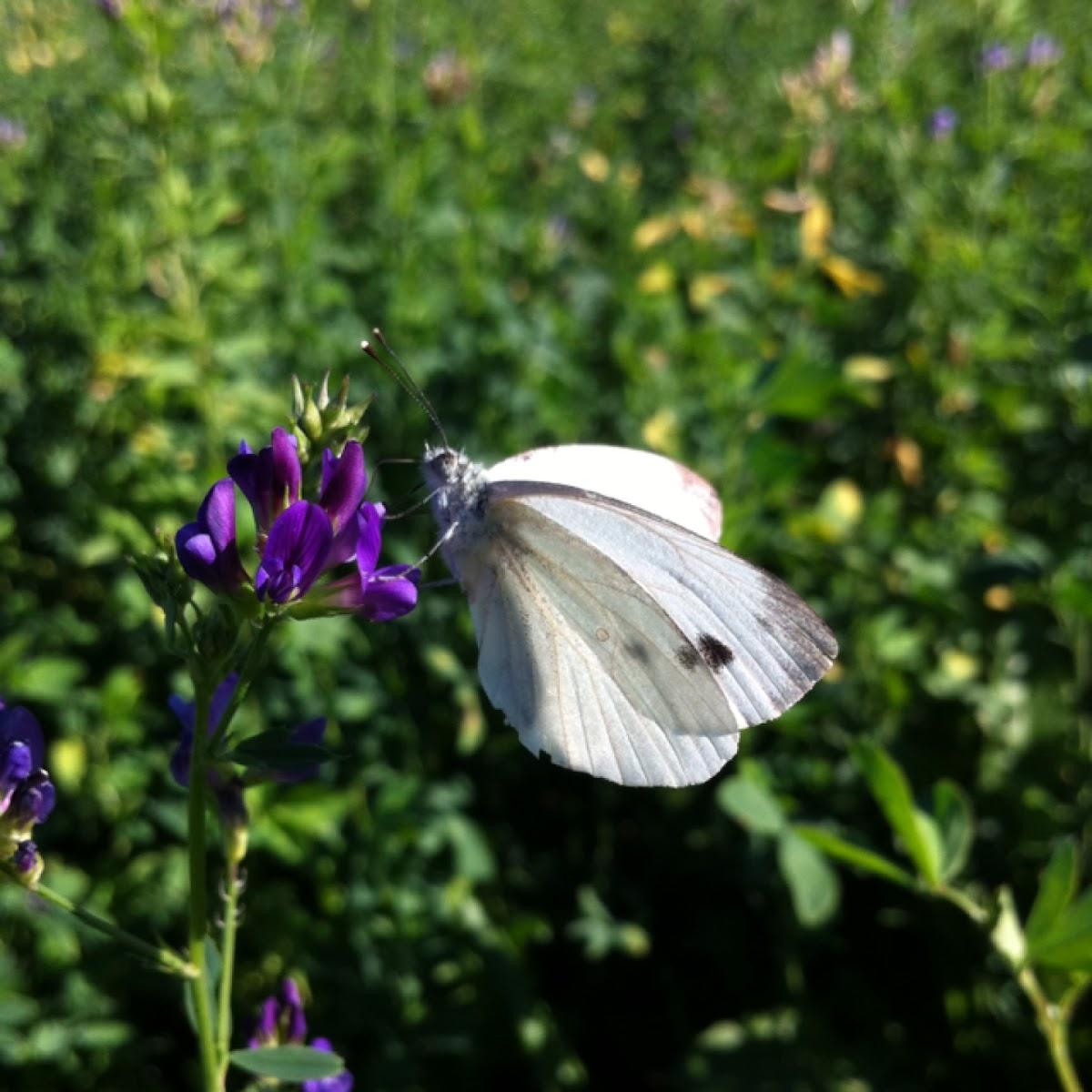 Cavolaia minore, Small White