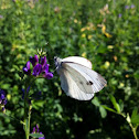 Cavolaia minore, Small White