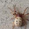Furrow Spider (female, pale morph)
