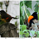 Toche Picodeplata / Flame-rumped Tanager