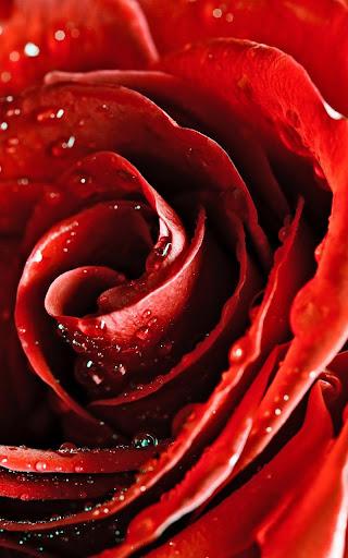玫瑰宏動態壁紙