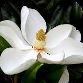 Magnolia Live Wallpaper