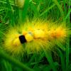 Tussock moth / calliteara horsfreldi