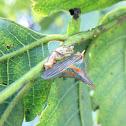 Thorn Tree hopper