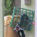 Downing Woodpecker