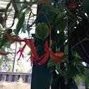 Tree Of Heaven / Shimshiba / Pride of Burma / Orchid tree