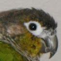green cheeck conure