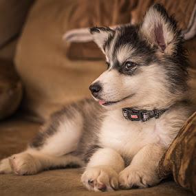 Talkeetna the Puppy by Stuart Partridge - Animals - Dogs Portraits ( alaskan, d610, husky, puppy, dog, nikon, malamute )