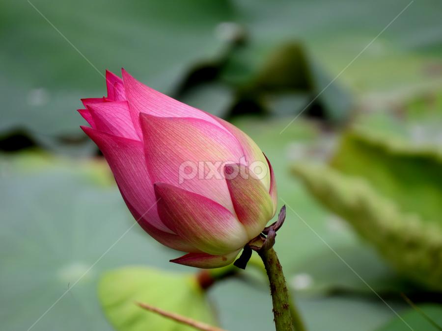 Lotus  by Aloke Paul - Flowers Flower Buds (  )