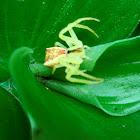Trapezia Crab Spider