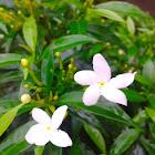 Sri Lanka Jasmine/Grape jasmine