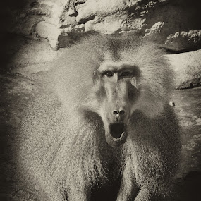 by Boutheina Ferid - Animals Other Mammals ( baboon, zoo )