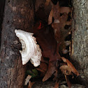 false turkey tail fungus