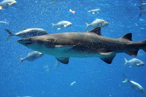 Shark Challenge Evolution