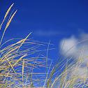Erva das dunas
