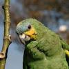 Orange-winged Amazon