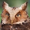 Formosan Mountain Scops Owl