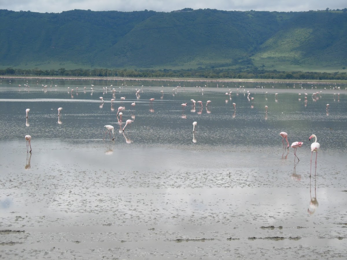 Flamenco común. Greater Flamingo