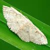 Geometer or Geometrid Moth