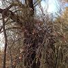 Buloke Mistletoe