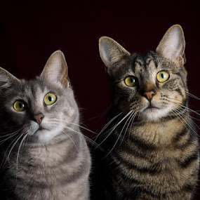Related. by Amy Woldrich - Animals - Cats Portraits ( cats, cat eye, pet, alert, grey, brown, smee, geri, feline, gray, kitty, tabby,  )